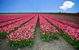 Tulip Lil Garden - logo
